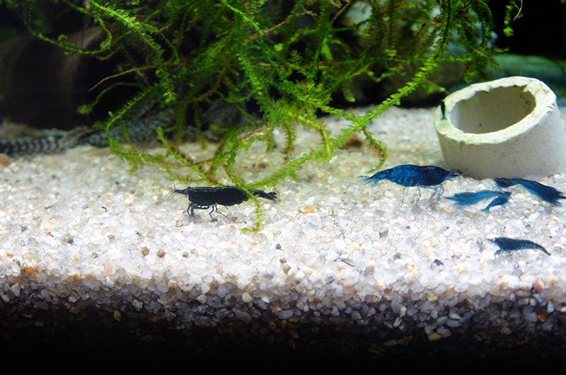 Blue Dream / Blue Velvet (Neocaridina davidi)